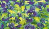 Caryopteris incana 'Sunshine Blue Bluebeard'