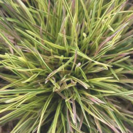Zoom Deschampsia 'Northern Lights'