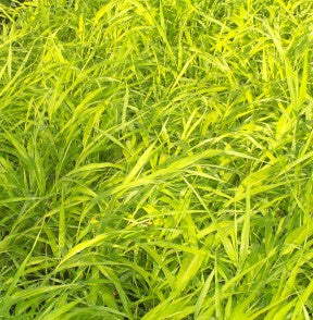 Zoom Hakonechloa 'All Gold Japanese Forest Grass'