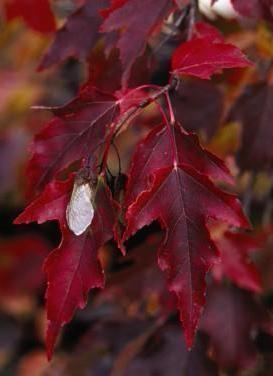 Acer ginnala 'Flame Maple'