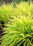 Hakonechloa macro 'All Gold Japanese Forest Grass'
