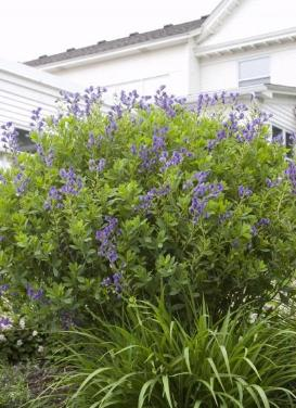 Baptisia australis 'Blue False Indigo'