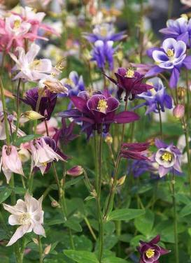 Aquilegia 'Biedermeier Mix Columbine'