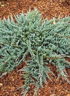 Juniperus horizontalis 'Blue Chip Juniper'