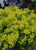 Berberis thunbergii 'Bonanza Gold Barberry'