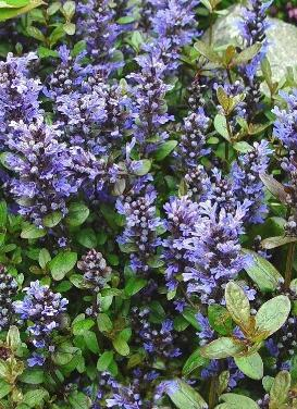 Ajuga 'Chocolate Chip Bugleweed'