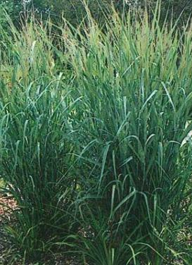 Panicum virgatum 'Dallas Blues Switch Grass'