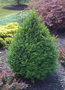 Buxus 'Green Mountain Boxwood'