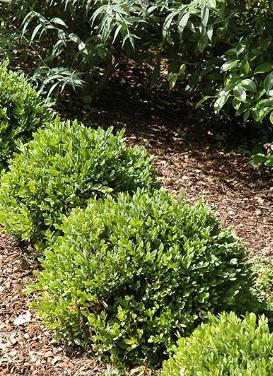 Buxus 'Green Velvet Boxwood'