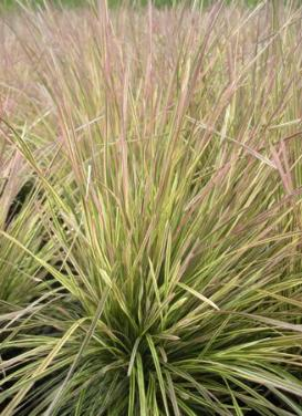 Deschampsia cespitosa 'Northern Lights Grass'