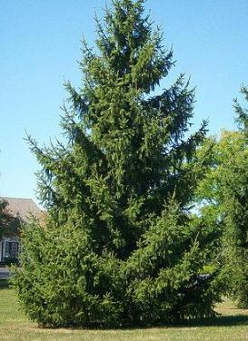 Picea abies 'Norway Spruce'