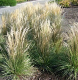 Calamagrostis acutiflora 'Overdam Feather Reed Grass'