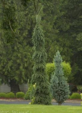 Picea glauca pendula 'Weeping White Spruce'