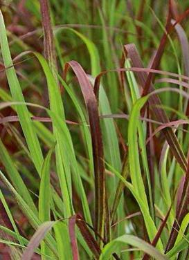 Panicum virgatum 'Ruby Ribbons' Switch Grass