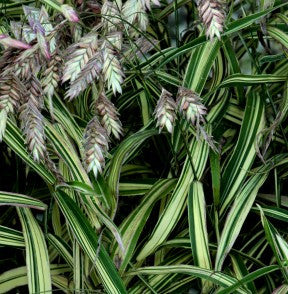 Chasmanthium 'Northern Sea Oats'