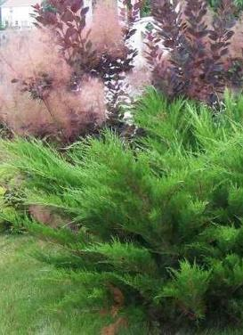 Juniperus chinensis 'Sea Green Juniper'