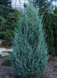 Juniperus scopulorum 'Wichita Blue Juniper'