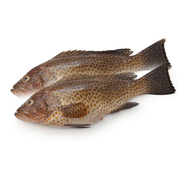 HAMOUR FISH - BIG Approx 3 Kg - Mabrook