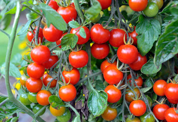 CHERRY TOMATO PACKET - APPROX 250 GM