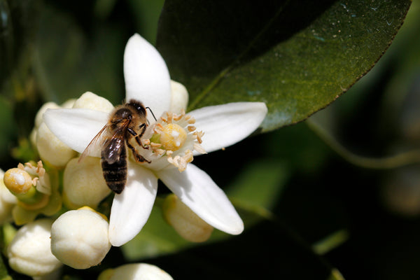 honey bee on an orange tree flower
