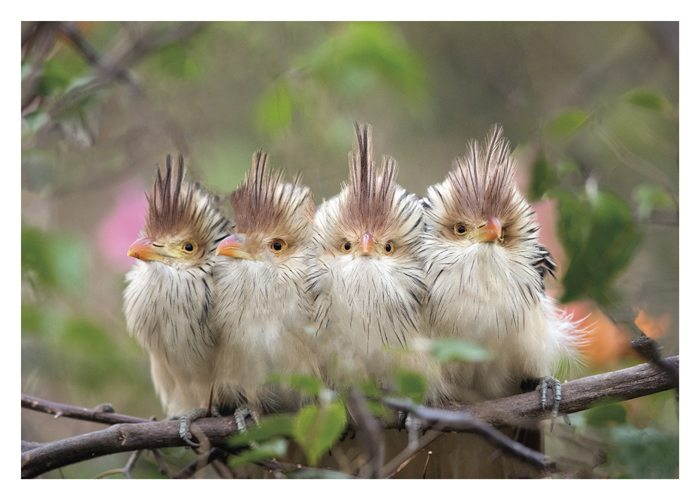 PALM PRESS GREETING CARDS FOUR BRAZILIAN CUCKOOS