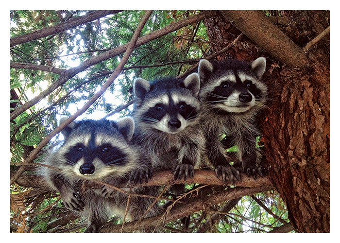 PALM PRESS GREETING CARDS THREE RACCOONS