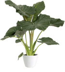 Alocasia Regal Shield