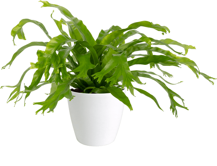 Alspenium Bird's Nest Fern 'Crissie'