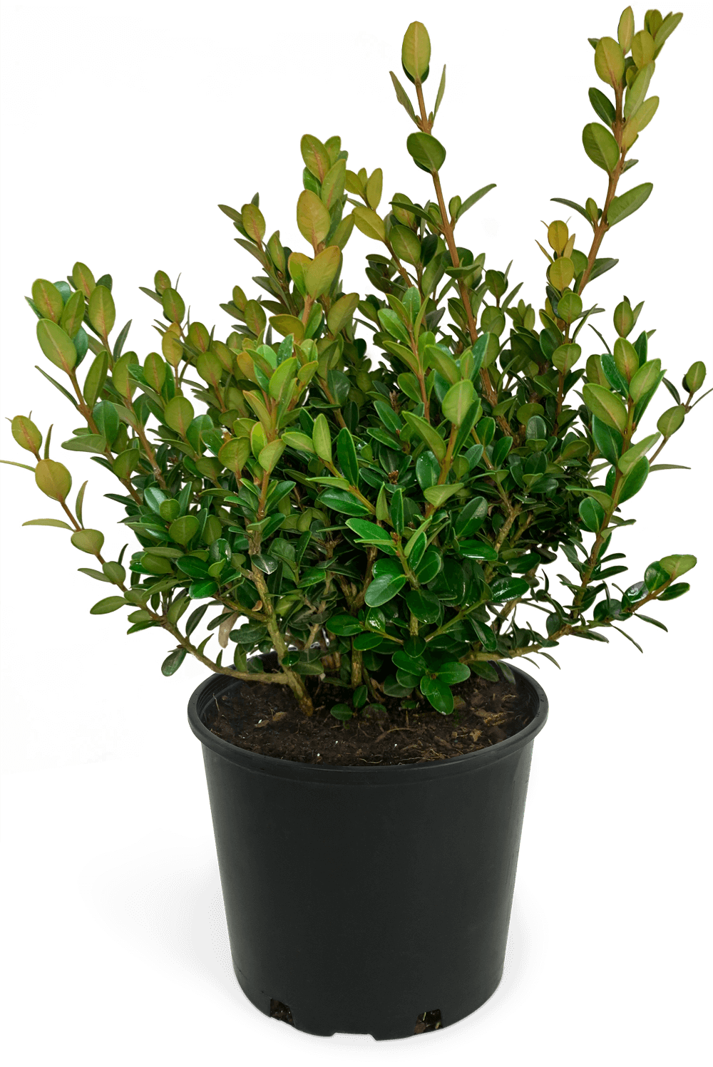 Boxwood Little Missy
