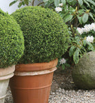 Boxwood Sprinter
