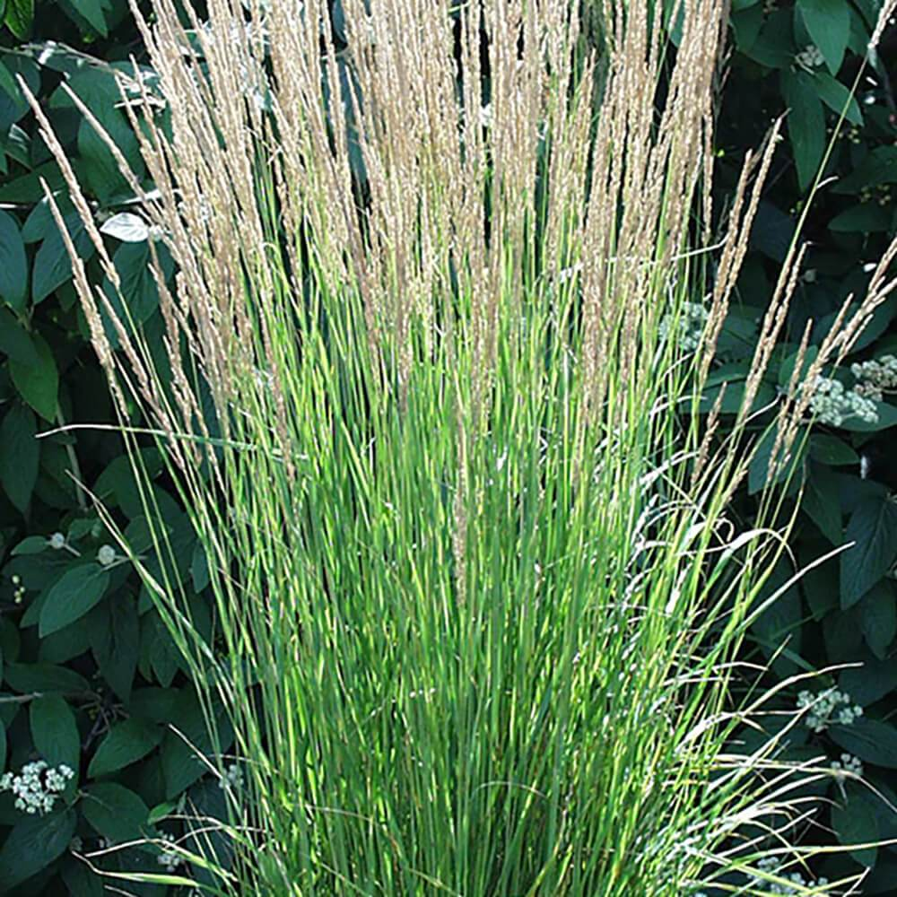 Calamagrostis Karl Foerster Feather Reed Grass
