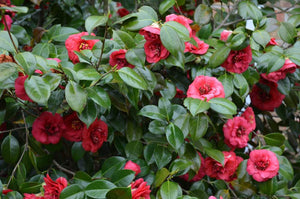 Camellia April Tryst