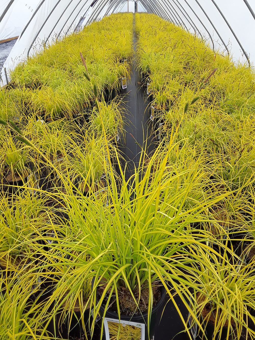 Carex Bowels Golden Sedge