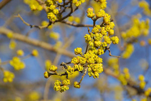 Cornelian Cherry-Dogwood