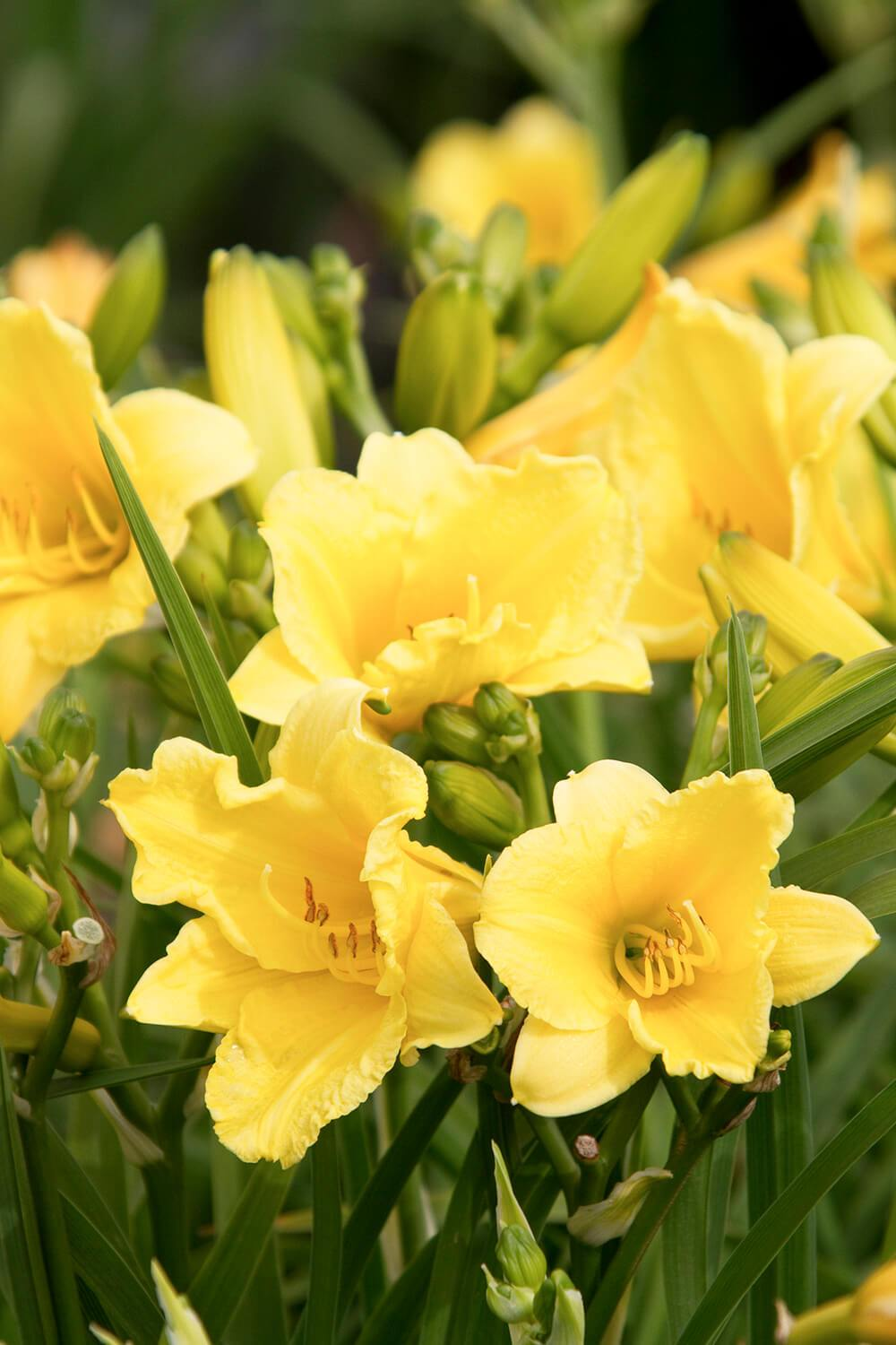 Daylily Happy Returns