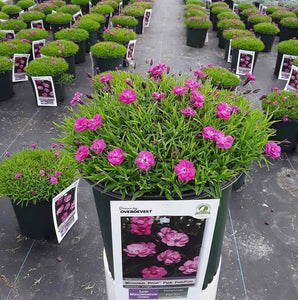 Dianthus Mountain Frost