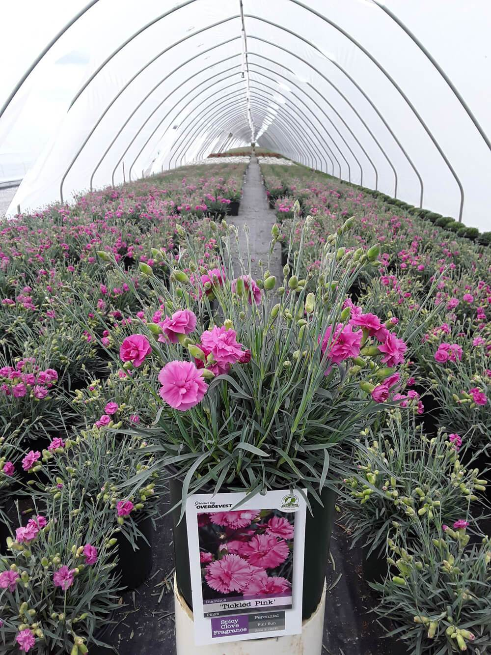 Dianthus Tickeled Pink