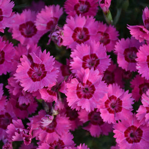 Dianthus Paint the Town
