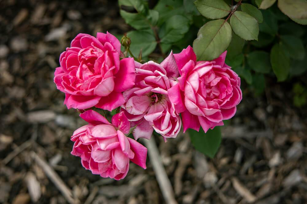 Rose Pink Double Knockout