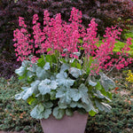 Heuchera Dolce Spearmint