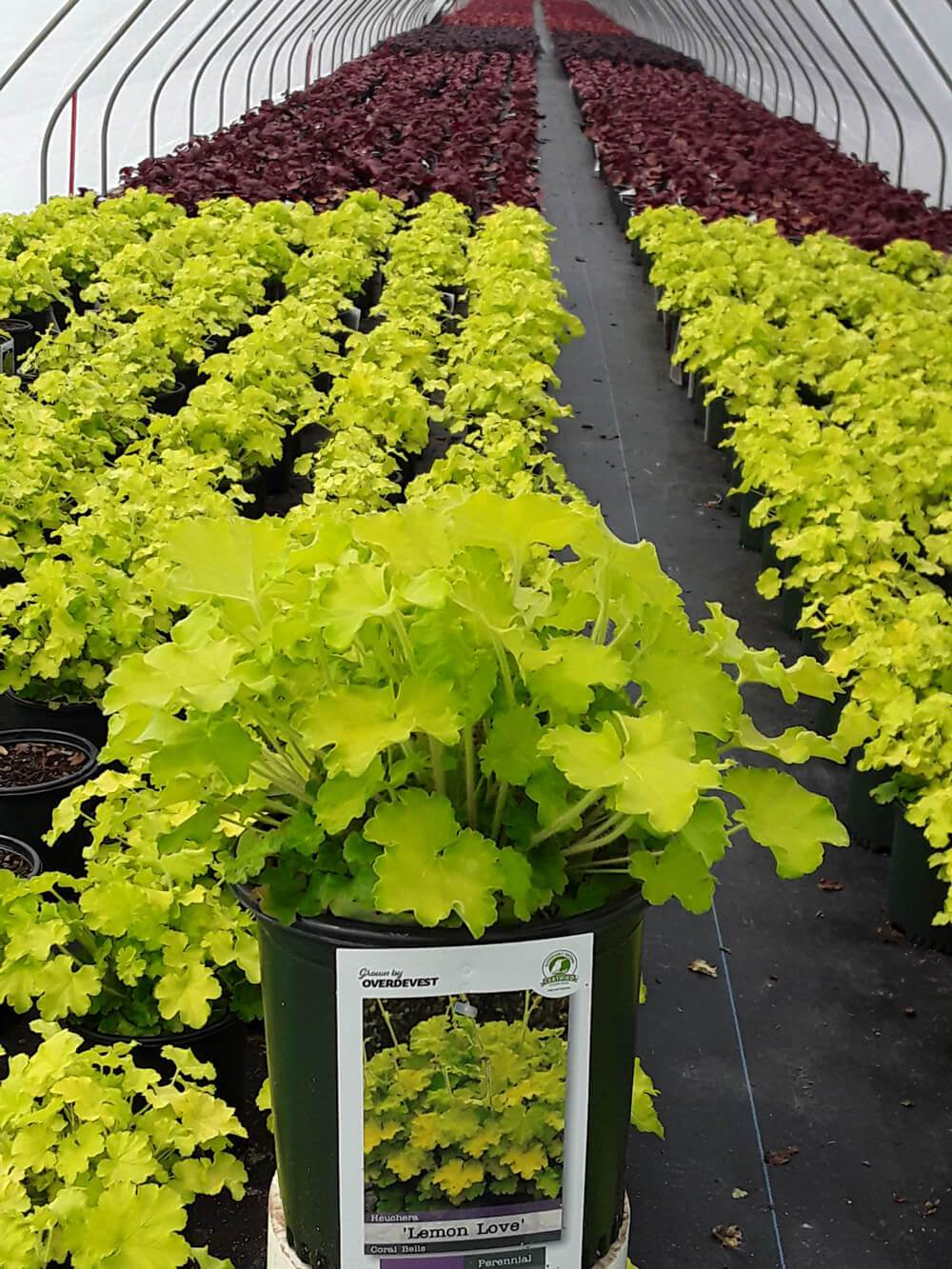Heuchera Lemon Love