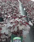 Heuchera Blackout
