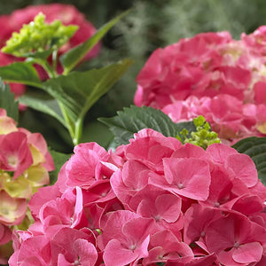 Hydrangea Forever and Ever Red