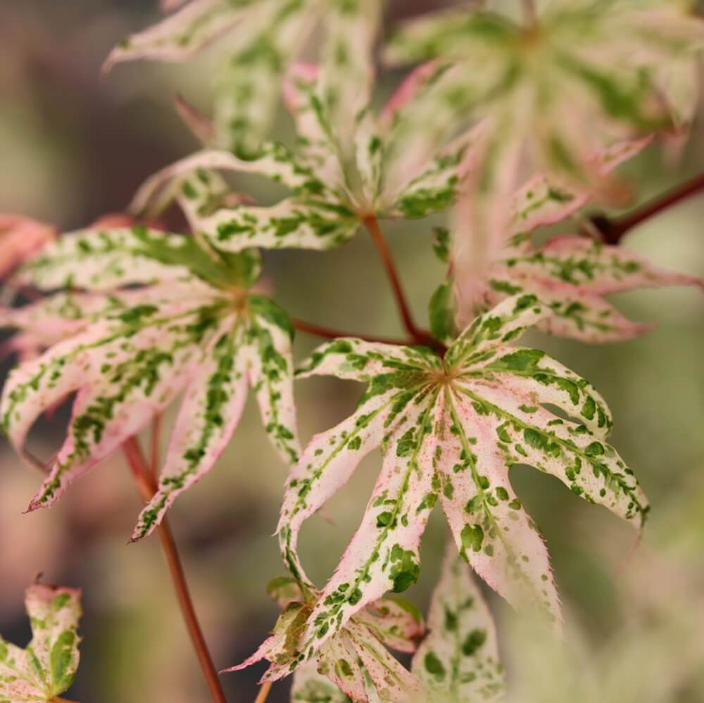 Japanese Ukigumo Maple