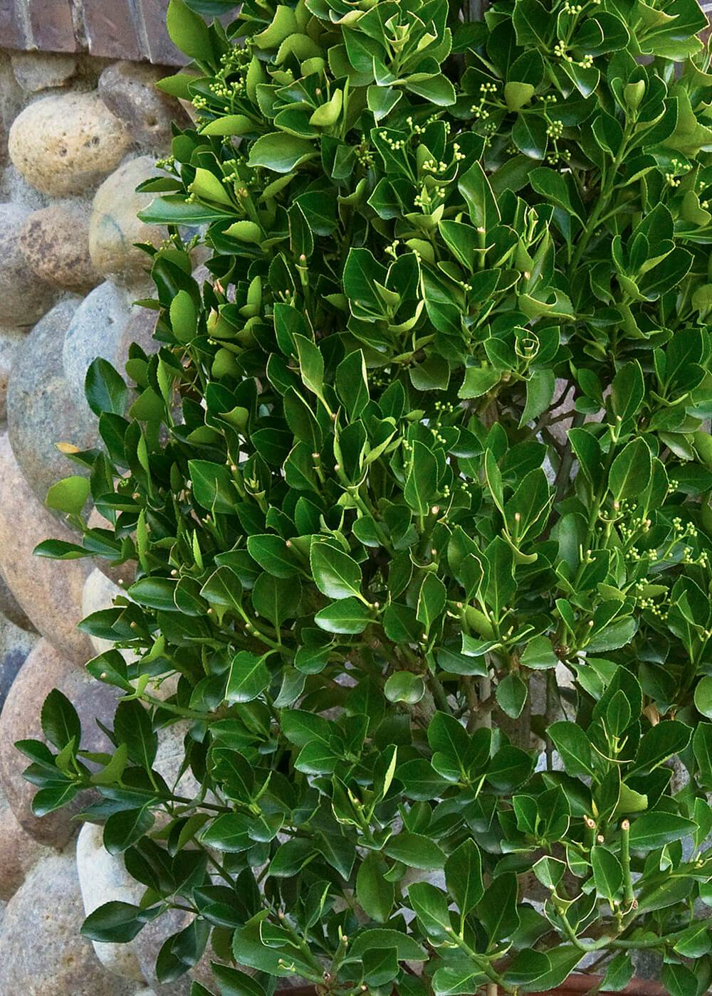 Trellised Manhattan Euonymus