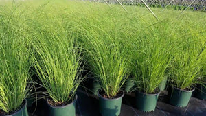 Grass Miscanthus Scout