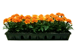 Orange Marigold Flat
