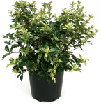 Osmanthus Goshiki false holly