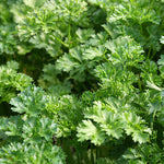 Parsley Curly Forest Green