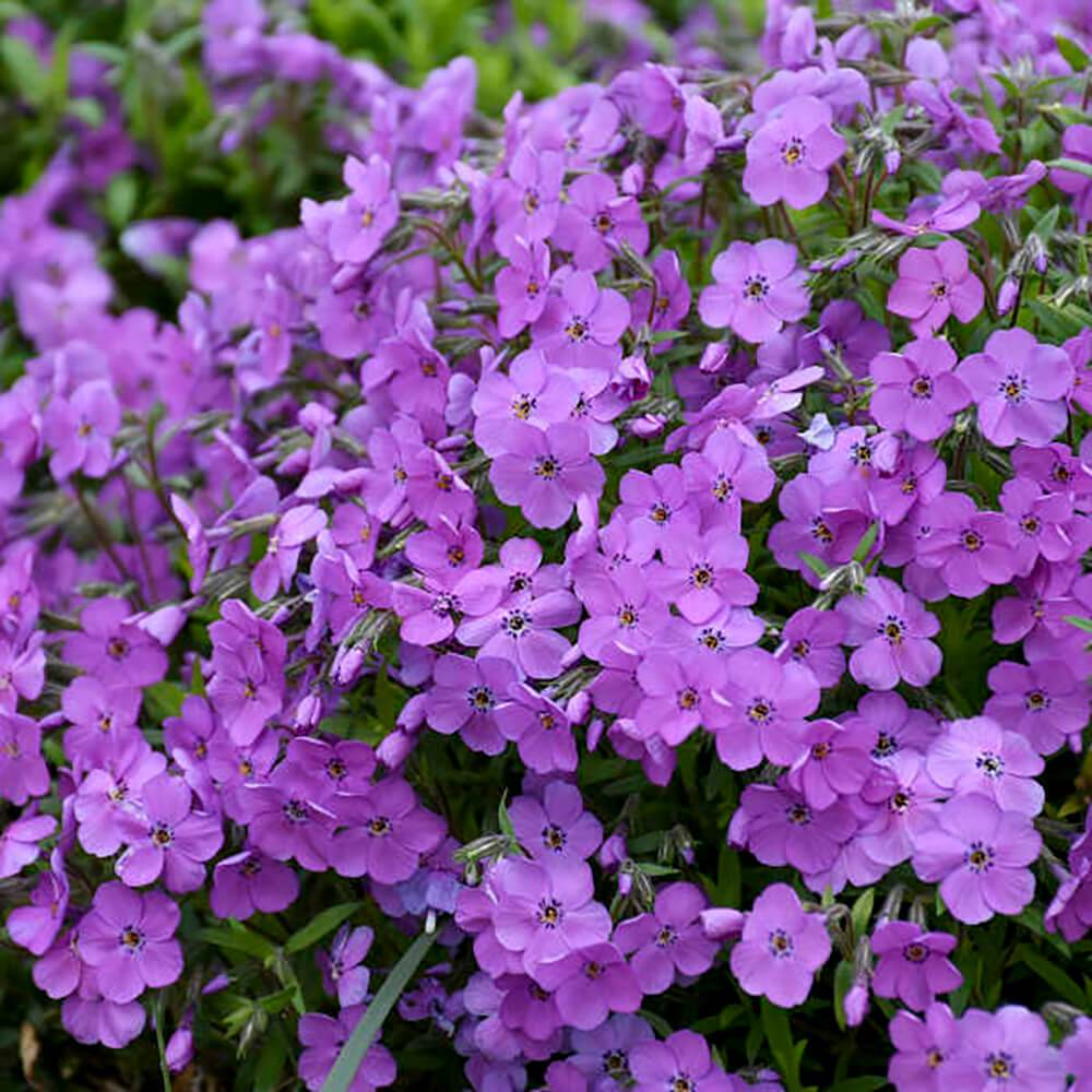Phlox Mountain Sprite